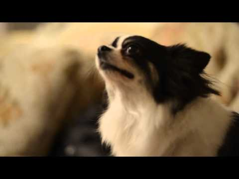 My lovely dog can listen order to laugh and attention :D 1 (A little bit out focus)