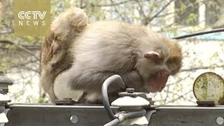 Footage: monkey gets electric shock, gets rescued