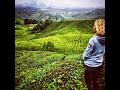 Malaysia's British Tea Secrets: The Cameron Highlands