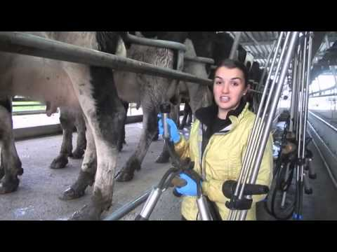 Putting Cups on the Udders