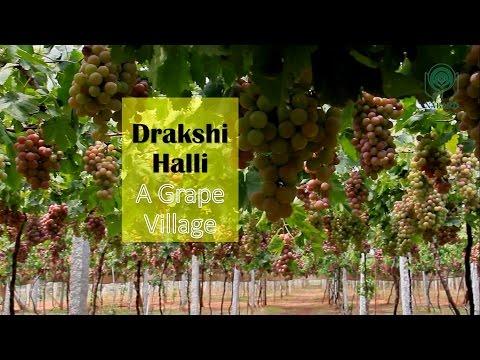Drakshi Halli – A Grape Village