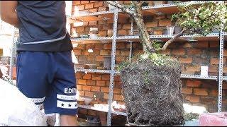 how to create a bonsai tree ,process of making bonsai