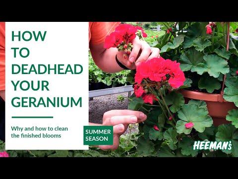 How to Deadhead a Geranium