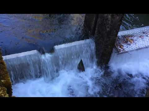 Salmon (sockeye,chum,pink) jump over fishway at weaver Creek Spawning Channel Oct 8 2017