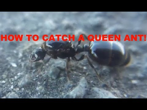 How To Catch A Queen Ant! (Reuploaded)