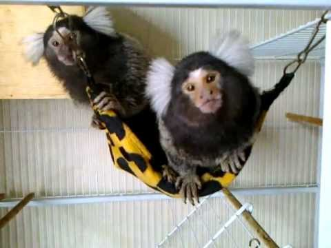 My Pet Marmoset Monkeys.