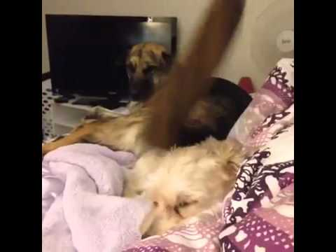 Dog Wags Tail on other Dog's Head