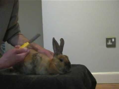 Rabbit care - How to groom your rabbit in 10 minutes