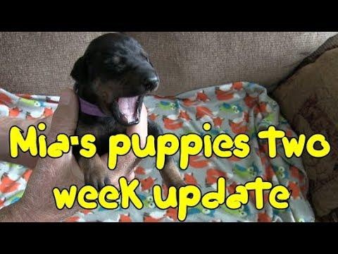 🐶 Mia's Puppies - Two week update Doberman Pinschers