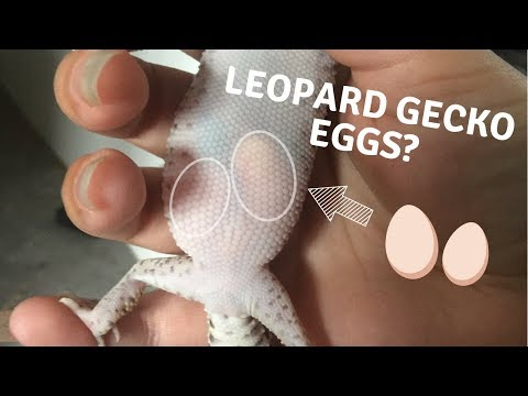 Leopard geckos eggs in belly.