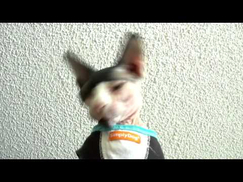 Sphynx Tom Sawyer -Ep 140 - He Makes Weird Sounds When he Yawns
