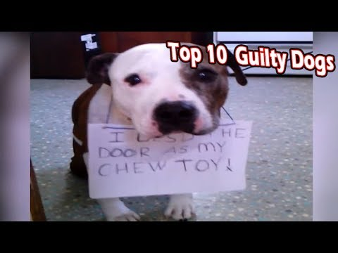 top 10 guilty looking dogs (pet and animals looking guilty)