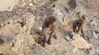 Hungry Monkey Of Taif