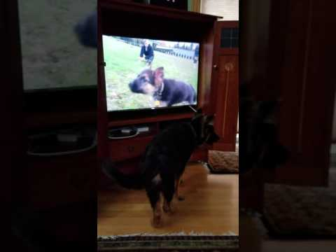 German Shepherd Amadeus barking at tv