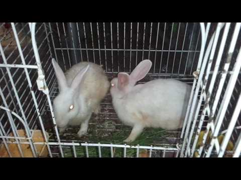 how to care for a rabbit (URDU/HINDI) ONLY ON PBI