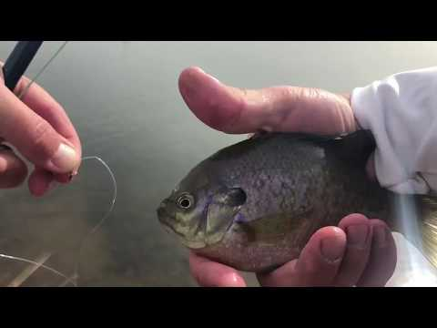 Catching bluegill with a fly rod