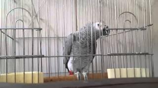 Download good Parrot طوطی سخنگو ایران بنام توکا Video