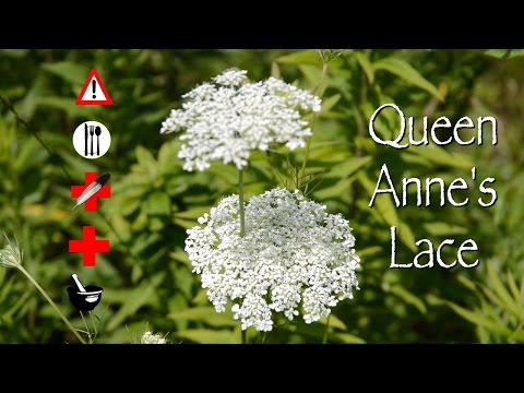 Queen Anne's Lace: Edible, Medicinal, Cautions & Other Uses