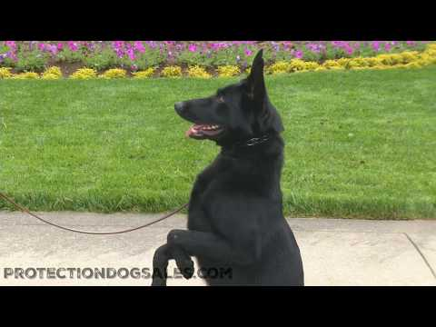 Informational Video by Master Trainer David Harris German Shepherds And Shedding