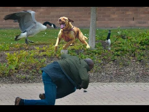 Dog Protects Owner From An Attacking Goose!!!
