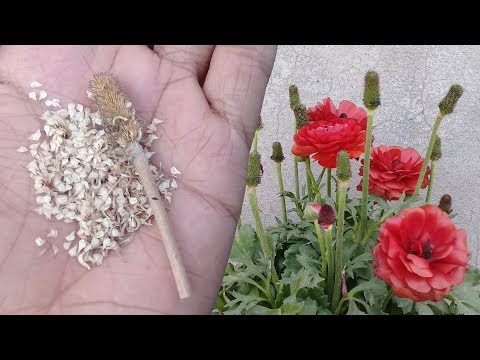 How to collect ranunculus seeds | Persian buttercup | Ranunculus asiaticus