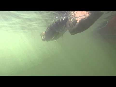 4 Pound Largemouth Bass Release Underwater Go Pro Hero 3+ 1080p HD