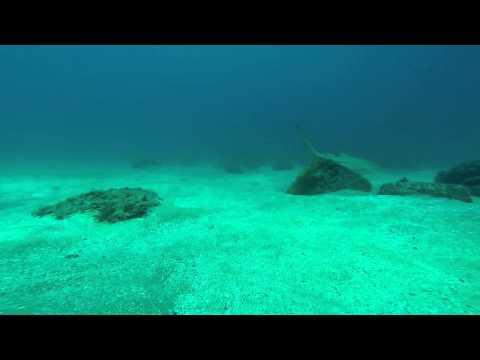 Leopard Shark Cook Island2