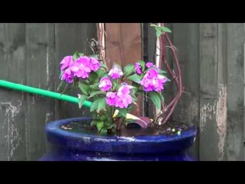 Reviving a wilted flower with water