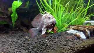 *VERY RARE* FRESHwater Frogfish!!