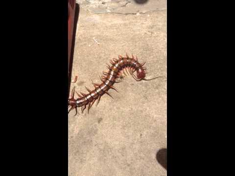 Centipede in Barbados