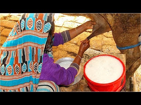 How to Milk cows by hand by a village woman / 20 Litres milk in a single cow!!!/ Around my world