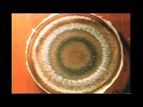 70. Trichoderma Growth Rings