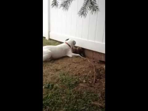 Dog tunnels under fence to play with neighbor dog