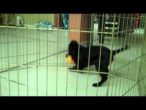 Meet Java a Retriever, Labrador currently available for adoption at Petango.com! 3/3/2011 9:14:57 AM