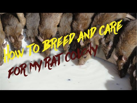 How to breed and care for rats