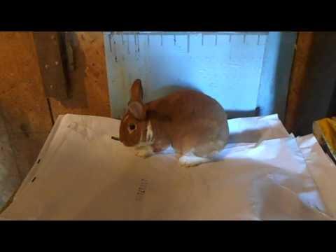 TEK Rabbitry Buck line-up