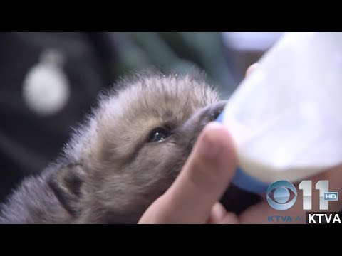 Injured Wolf Pups Rescued From Alaska Forest Fire