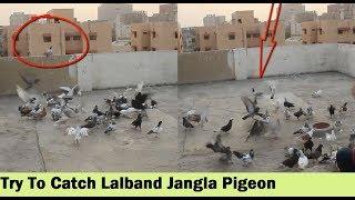 Lartey Hovey Lalband Jangla Kabootar Utra Chaht Par - Our Pigeons Loft