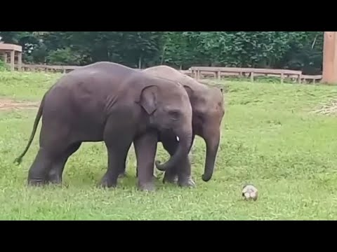 Two elephants in Thailand play soccer together