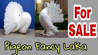 laka pigeon price Videos - 9videos tv