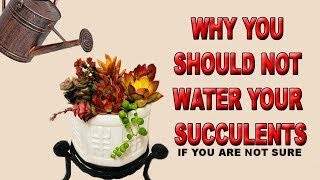WHY YOU SHOULD NOT WATER YOUR SUCCULENTS