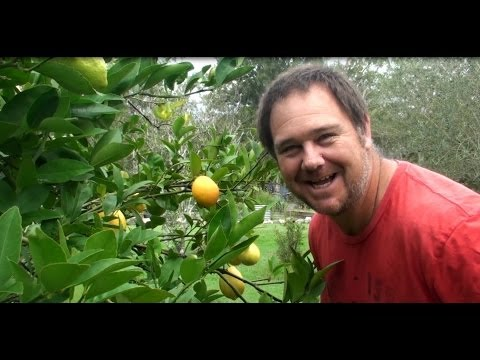 Grow a Meyer Lemon Tree & Make the Fruit into Jam or Marmalade