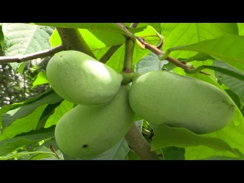 Paw Paw (Asimina triloba)-  The Largest American Fruit