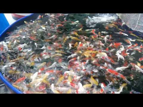 Cá chép Nhật - Ruby Koi Farm.Việt Nam