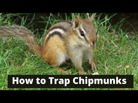 How To Trap Chipmunks