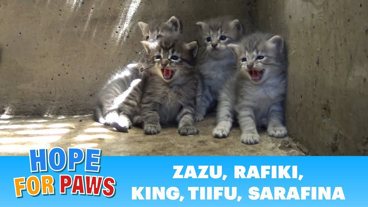 Lion kings and queens born in a storm drain - rescuer leaves screaming!