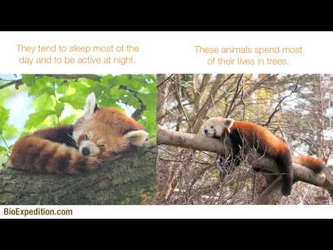 Information about Red Panda