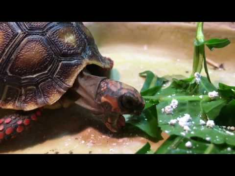 Cute baby tortoise eating