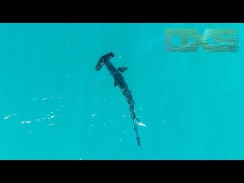 Hammerhead Sharks at Omaha Beach NZ 6/12/17