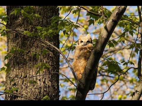 Great Horned Owlet Keeps Cool By 'Gular Fluttering'